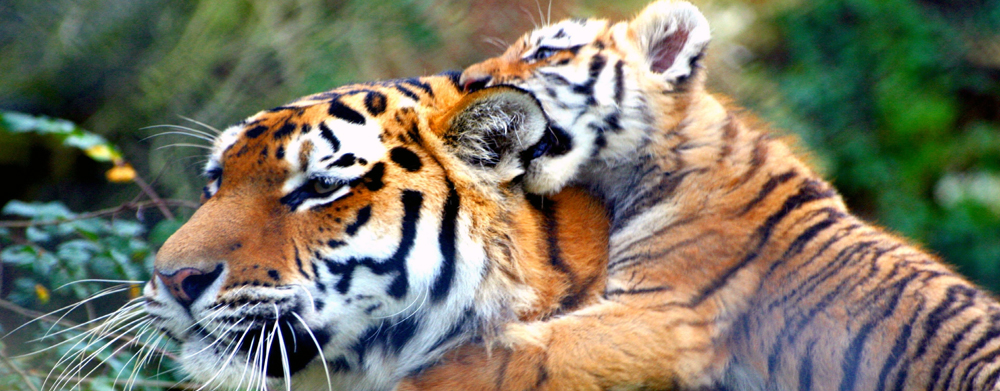 TT: Tigers Safari Park Only.. Half Day Tour