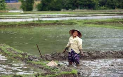 Rice Paddy Field Women