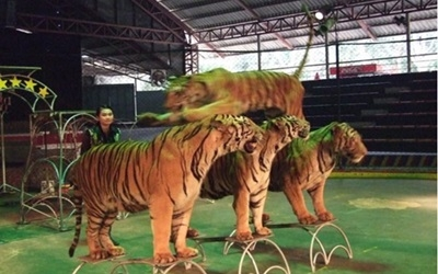 Bengal Tigers performing