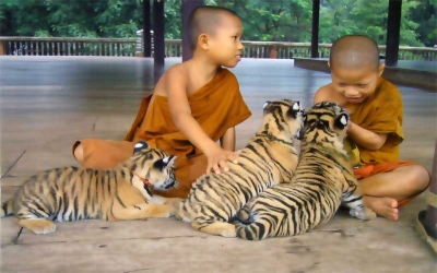 Novies Monks play with tigers