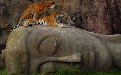 Tigers on Buddhas head