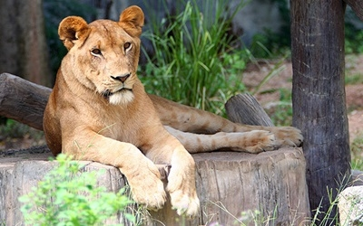 Lioness Lazing in the Shade