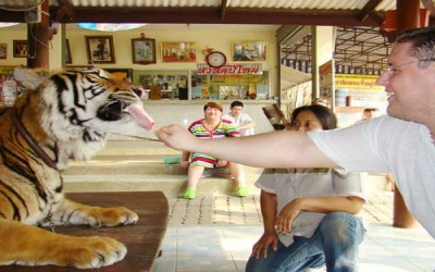 Hand feed the big cat