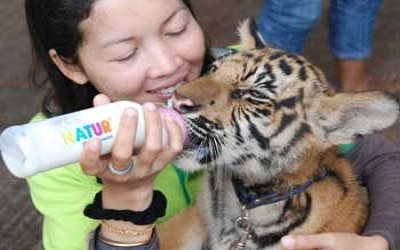 Feeding a tiger cubs