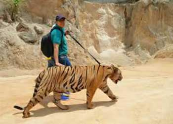 Take a tiger for a walk