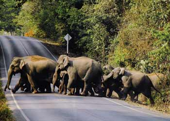 Elephant crossing - Khao yai park