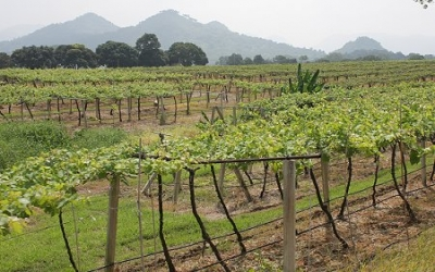 Vineyards in Khao Yai valley