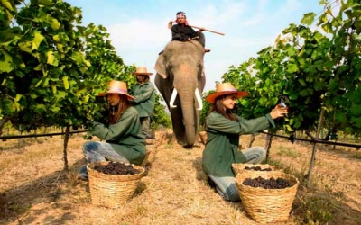 Harvesting vineyards with elephant
