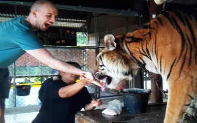 Tiger Temple feeding tiger